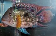 Продаю аквариумных  рыбок оптом и розницу
