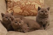 Британские лиловые котята