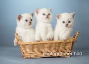 Элитные британские котята от чемпионов с документами