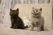 Британские лиловые и шоколадные  котята