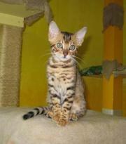 бенгальские котята питомника БЕНАМУР