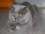 Найден британский кот!