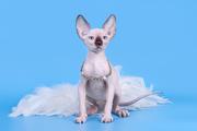 Одна из самых удивительных пород кошек - сфинкс!