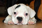 Продам щенка французского бульдога